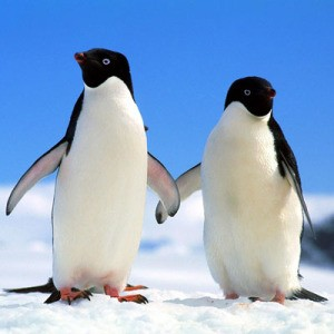 Пингвины_penguins